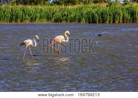 Pair of flamingos in delta of the Rhone. Sunset in the national park of Camargue, Provence