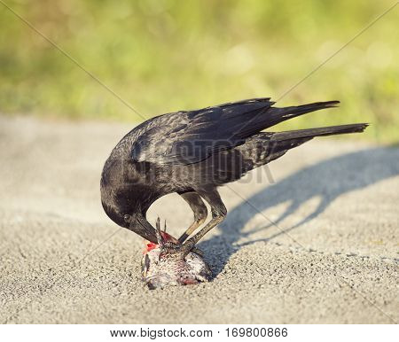 Crow eating a fish in Florida wetlands