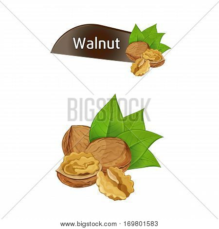 Walnut kernel in nutshell with green leaves set isolated on white background vector illustration. Organic food ingredient, traditional snack. Dried walnut nut seed whole and shelled collection.