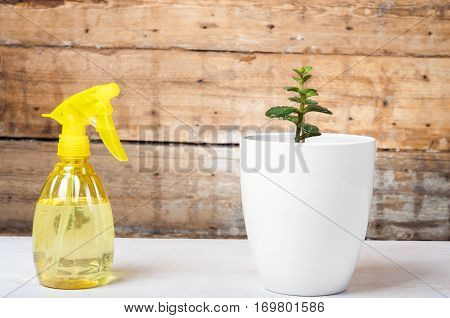 Growth concept - Watering the house plant with spray