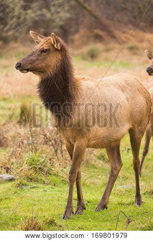 A beautiful female Elk wet from winter rain