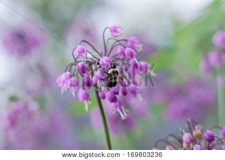 Delicate Nodding Onion flower in light purple (Allium cernuum) with bumble bee feeding