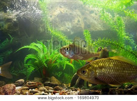 River Fish In An Aquarium