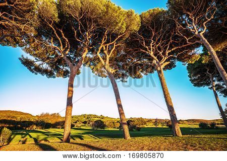 Maritime italian pine tree group on sunset. Baratti Maremma Piombino Tuscany Italy.