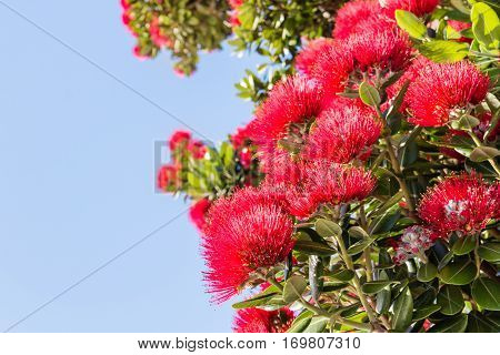red Pohutukawa tree flowers with blue sky and copy space