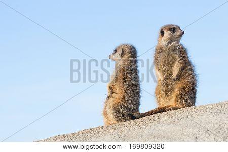 Meerkat On Guard Duty