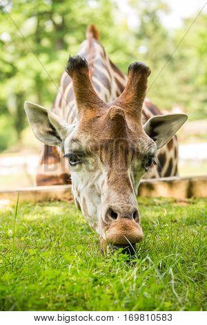 Giraffe Eating Green Grass .