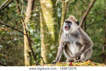 Hanuman Langur at primate rescue center near Plettenberg Bay, South Africa