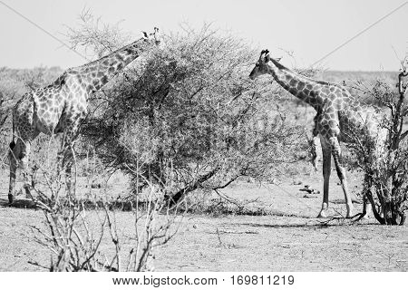 In South Africa     Wildlife    Reserve And   Giraffe