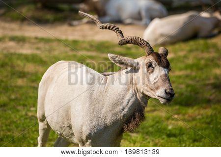 Addax Antelope Portrait