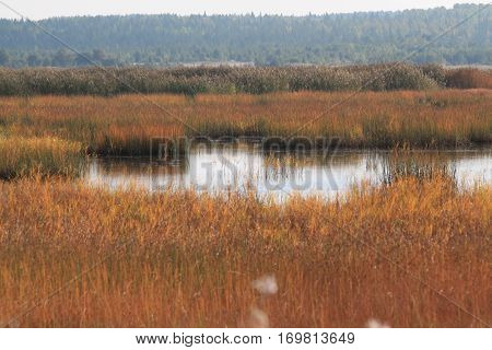Photo of the autumn landscape in the far north to the swamp and thick yellow withered reeds forest and sky in the background and water in the center of the composition