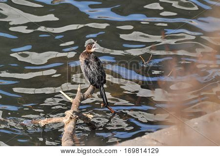 Pygmy Cormorant, Phalacrocorax pygmaeus sitting on branch over the river coast