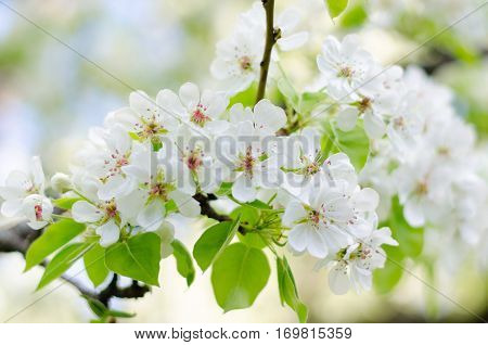 Closeup of blossoming cherry apple trees on a sunny spring day