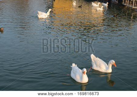 Geese On River In Winter