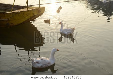 Geese And Boat
