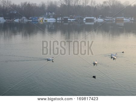 Geese On River Water