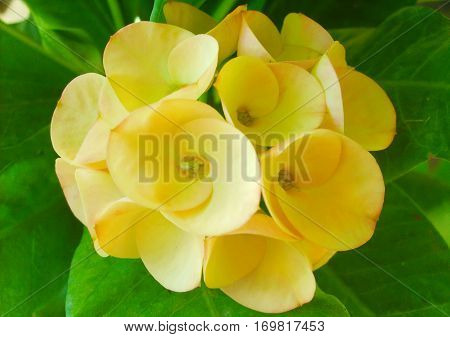 Yellow Crown of thorns Christ thorn Christ plant
