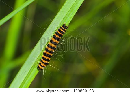 Tiny orange caterpillar with black stripes is ready to gobble all the grass around.