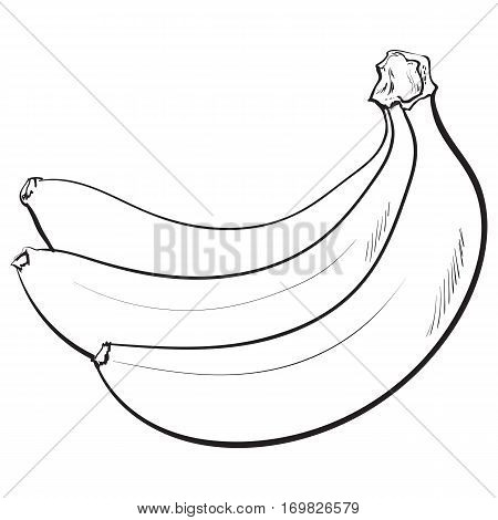 black and white Bunch of three unopened, unpeeled ripe bananas, sketch style vector illustration isolated on white background. Realistic hand drawing of unopened ripe banana bunch