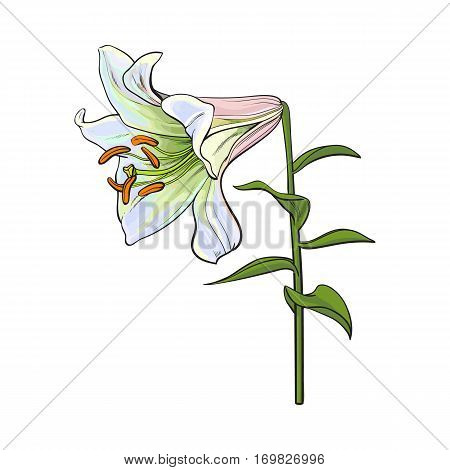 Single hand drawn white lily flower with stem and leaves, side view, sketch vector illustration isolated on white background. Realistic hand drawing of white lily, wedding flower, symbol of love
