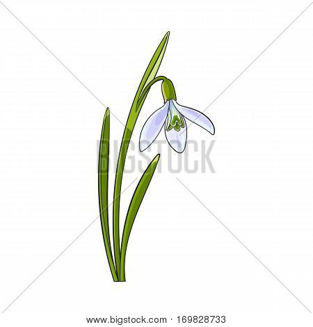 Single galanthus, snowdrop spring flower with stem, leaves, sketch vector illustration isolated on white background. Realistic hand drawing of galanthus, snowdrop, spring flower in vertical position