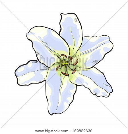 Single hand drawn white lily flower, top view, sketch style vector illustration isolated on white background. Realistic hand drawing of white lily