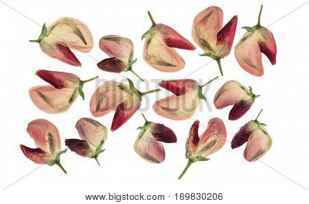 Set of pressed and dried flowers of pink lupine isolated on white background. For use in scrapbooking floristry (oshibana) or herbarium.