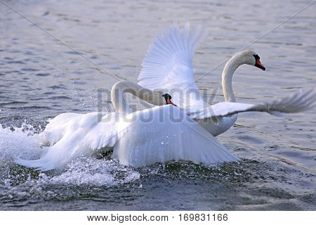 Two adult Mute Swan fighting chasing each other in the water.