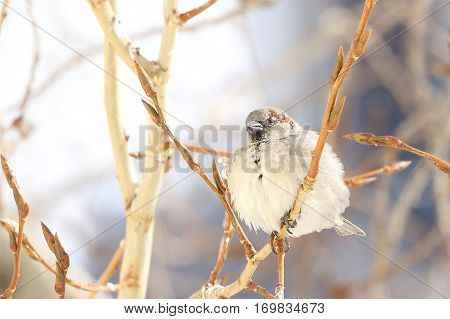 sparrow fluff one's feathers sitting on a branch of a poplar at the end of winter