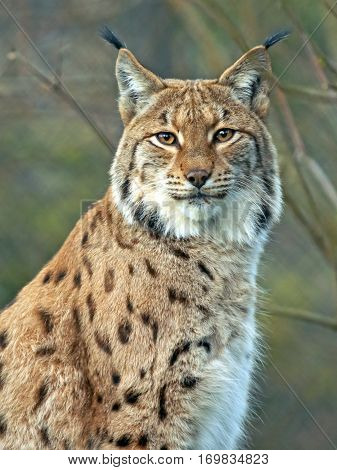 Close up portrait of European Lynx looking towards camera.
