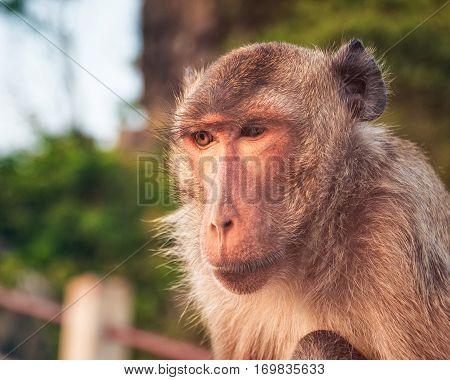 Monkey at Wat Thammikaram Temple in the Town of Prachuap Khiri Khan, Thailand