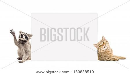 Raccoon and cat Scottish Straight, peeking from behind banner, isolated on white background