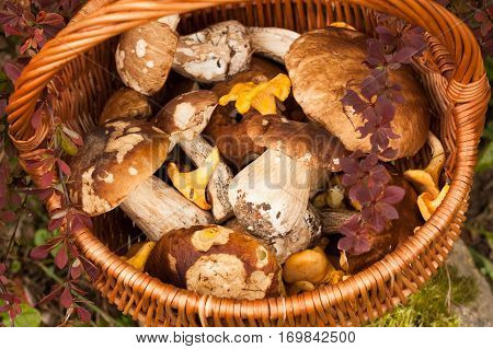 Beautiful Autumn Landscape Wicker Basket With Forest Edible Mushrooms Boletus Edulis Chanterelle Near Bush Barberry In Garden. Top View.