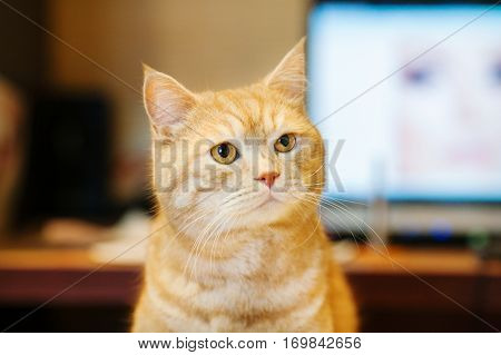 Red cat with green eyes looking at camera on blurred background. Domestic pet with smart look. Adorable curious striped carnivore