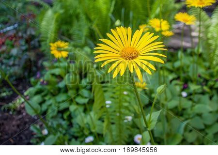 Yellow flowers of Leopard's bane or Doronicum orientale