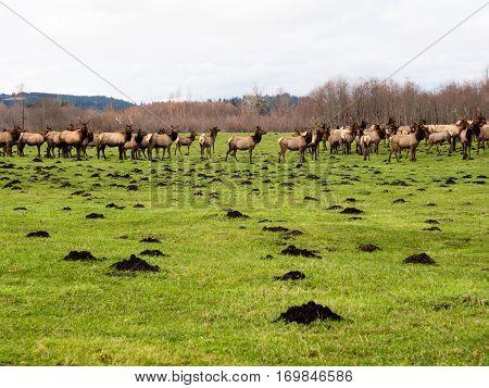 Herd of wild elk on green meadow near North Bend, Washington state, USA