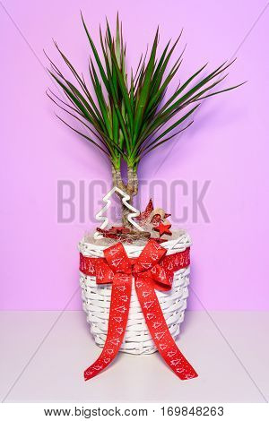 Flower As A Gift. Palm Tree With Long Green Leaves In A White Wicker Pot With A Red Bow. Flower Love