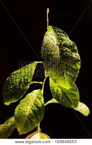 Dewy leaves of green citrus on a black background