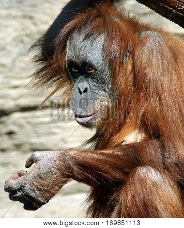 Female of Sumatran orangutan (Pongo abelii) in zoo