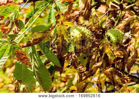 Ripe chestnuts on chestnut tree. Fallen leave.