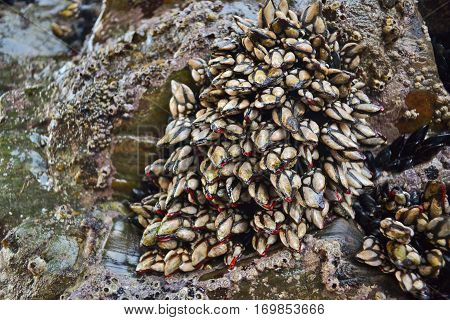 Goose Barnacles attached to rocks in nature background