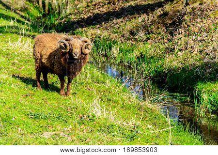 Ram in a pasture near the creek
