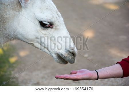Feeding domesticated llama at the zoo. White furry llama.