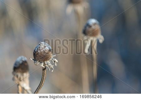 Dry flower stalk sprinkled with snow close up