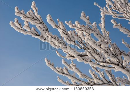 Branches Of A Tree In The Snow On A Background Of Blue Sky
