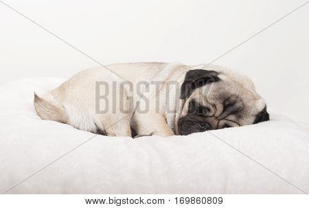adorable cute pug puppy dog sleeping on blanket