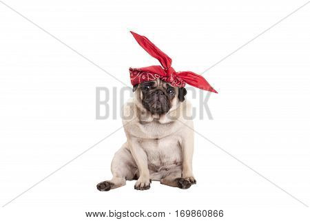lovely cute pug puppy dog with red western scarf as head wrap, isolated on white background
