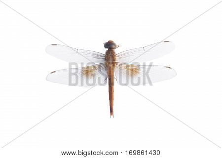 Dragonfly on a white background, dragonfly brown
