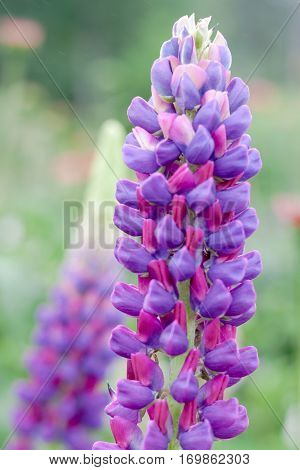 Purple Lupine flower (Lupinus polyphyllus) is a common and native hardy flower, portrait
