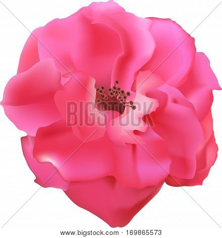 The roses flower bud, pink rose, gentle petals of a plant, garden flora, the isolated subject on a white background,